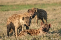 Spotted Hyenas express highly complex social behaviours