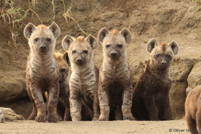 Young spotted hyenas at the communal den