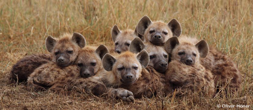 Sex life pf brown hyena