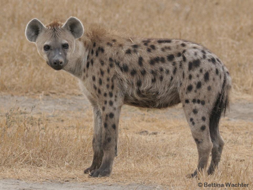 Hyena Project-7119