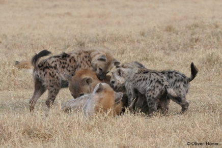 Young hyenas dominate adults