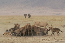 Spotted hyenas feasting on a buffalo