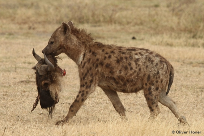 Spotted hyena with wildebeest skull – Hyena Project