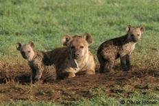 Hyena mum with twins