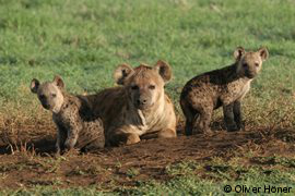 Hyena mum with twins