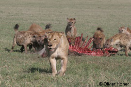 Hyenas defending kill against lioness