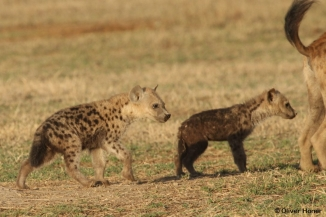 Two hyena cubs of same age