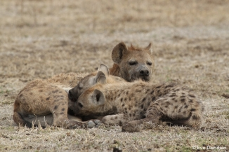 Two young hyenas suckling