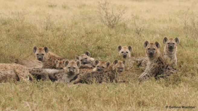 Young hyenas at the communal den