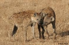 Male hyena cuddling a female