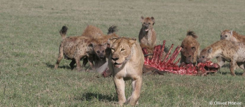 Conflict with lions