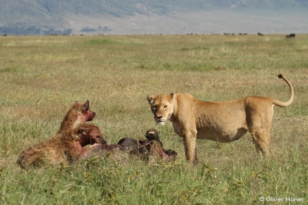 Two hyenas and one lioness at wildebeest kill
