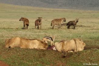 Young male lions and hyenas at a kill