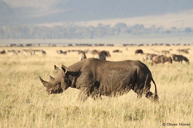 Black rhino in the Ngorongoro Crater