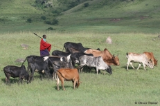 Maasai herdsman with his cattle