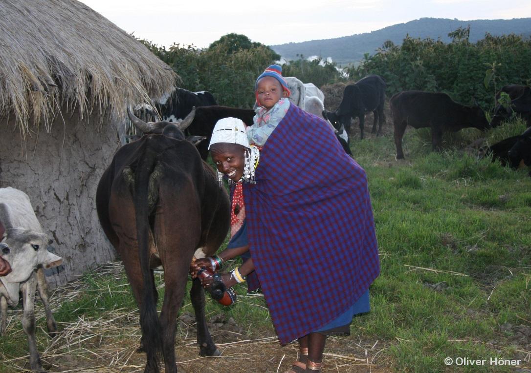 Maasai woman milking a cow