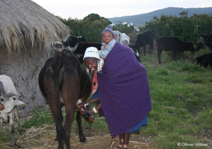 Maasai woman milking a cow