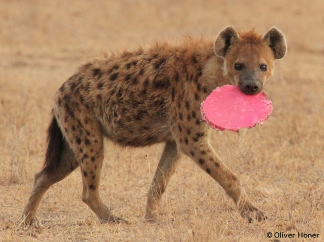 Male hyena toying with bucket lid