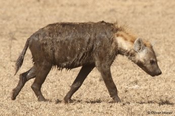 A very dirty hyena