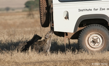 Young hyena nibbles on research vehicle