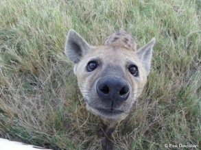 Hyena close up