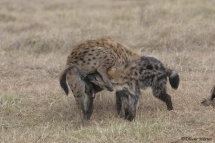 Greeting ceremony between young and adult hyena