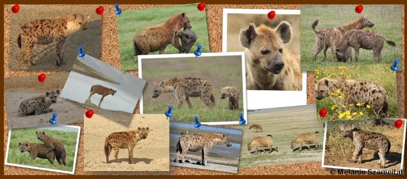 Report hyena sightings