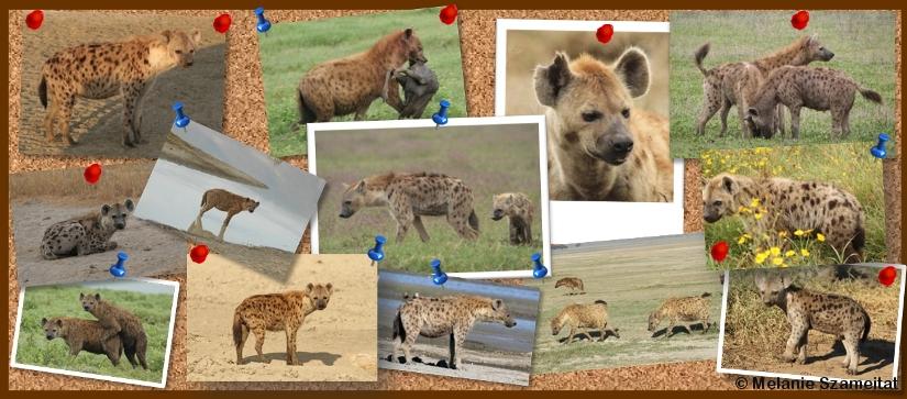 Report hyena sightings