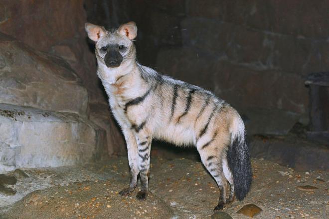 Aardwolf (Proteles cristata)