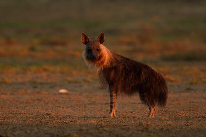 Brown Hyena (Parahyaena brunnea, Hyaena brunnea)
