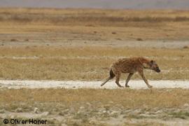 Dispersing hyena male