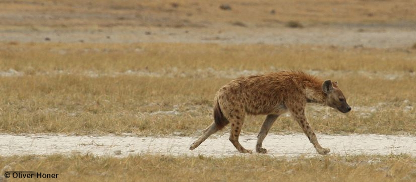 Dispersing hyena male