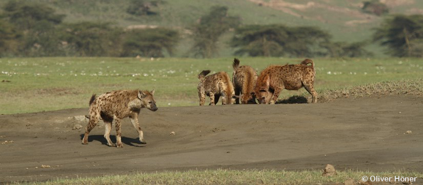 Mama's boys are not losers in spotted hyenas!