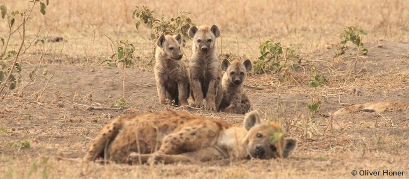 Hyena mother and cubs