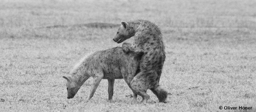 To Eat Or To Mate Thats The Question  Hyena Project-7945