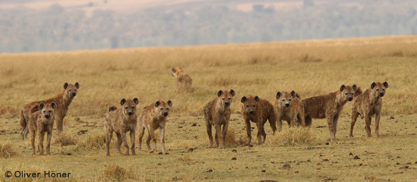 Friends over muscles: How female hyenas came to dominate males